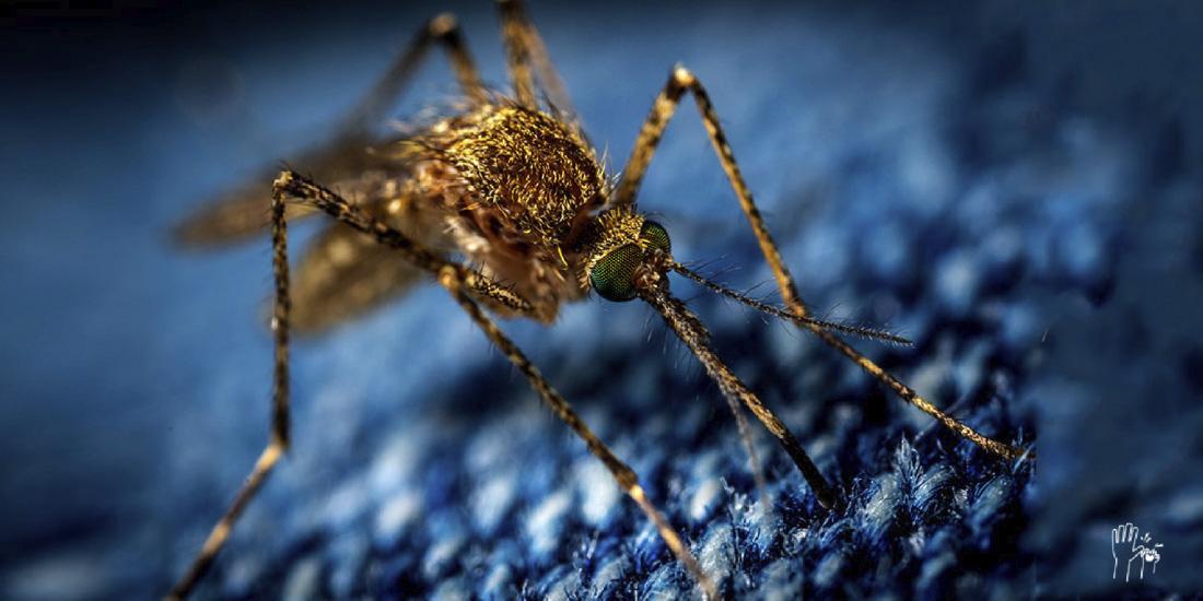 cinco cosas que no sabías de los mosquitos