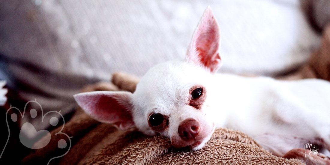 mascota con cáncer