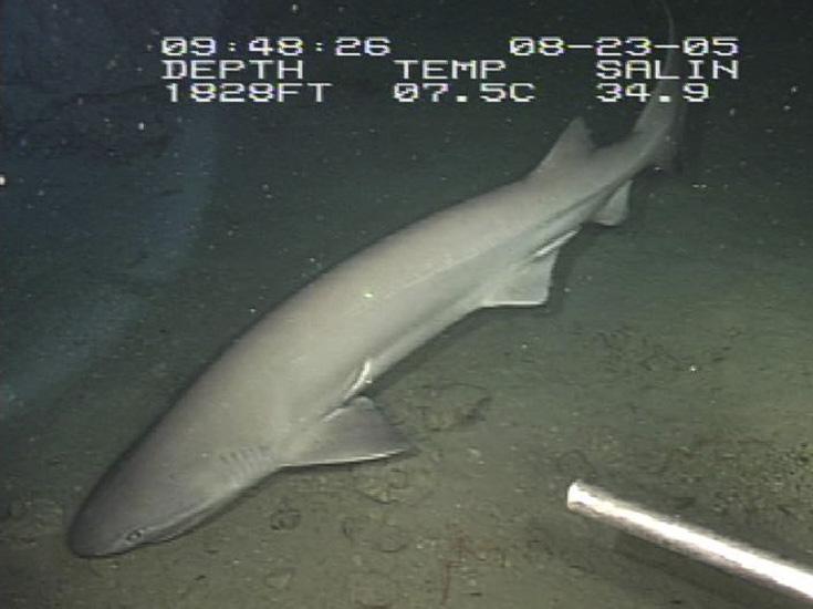 tiburón longevo