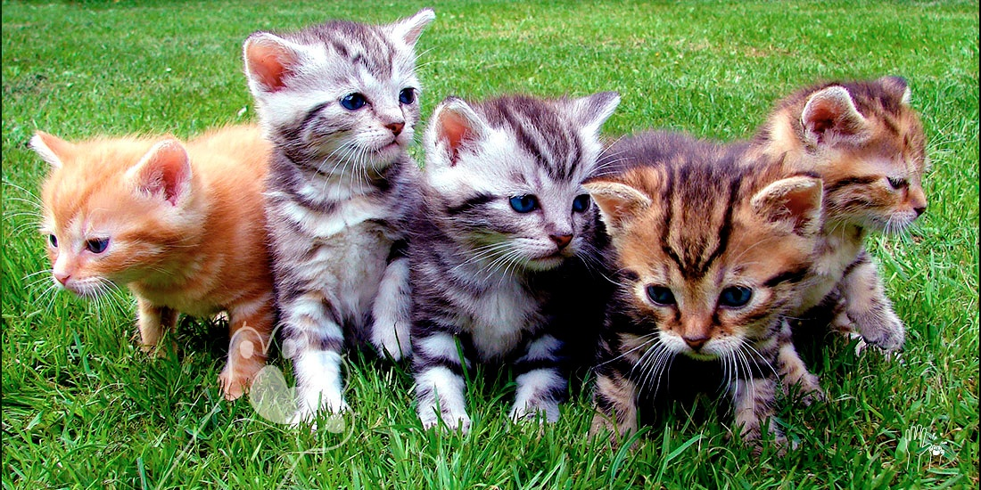 origen de los gatos