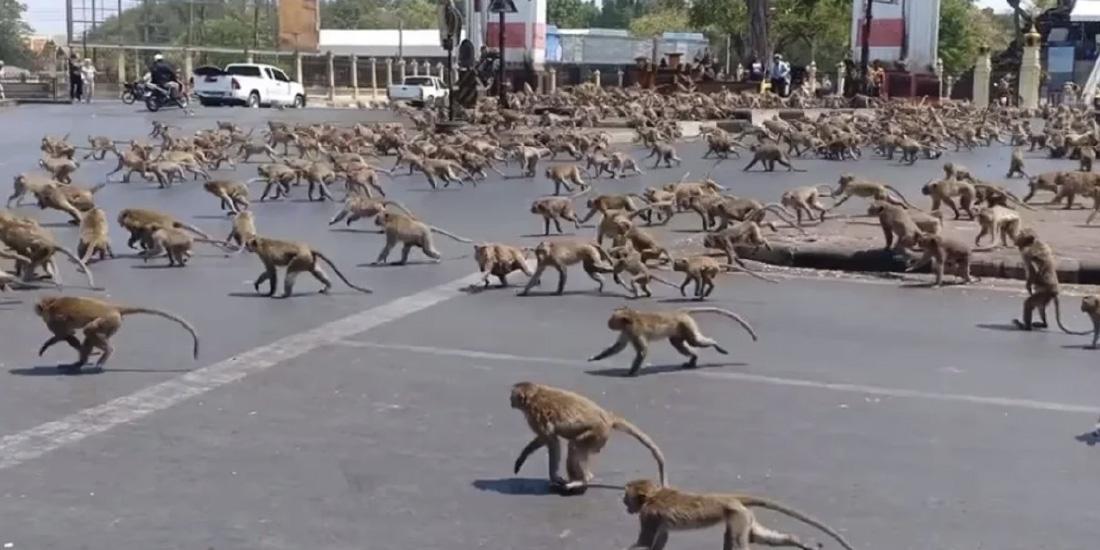 cientos de monos pelean por un plátano debido a falta de turismo por coronavirus