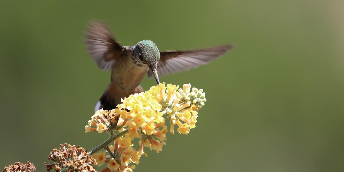 Día del colibrí