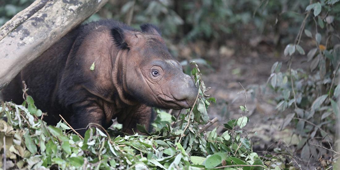 Día del rinoceronte