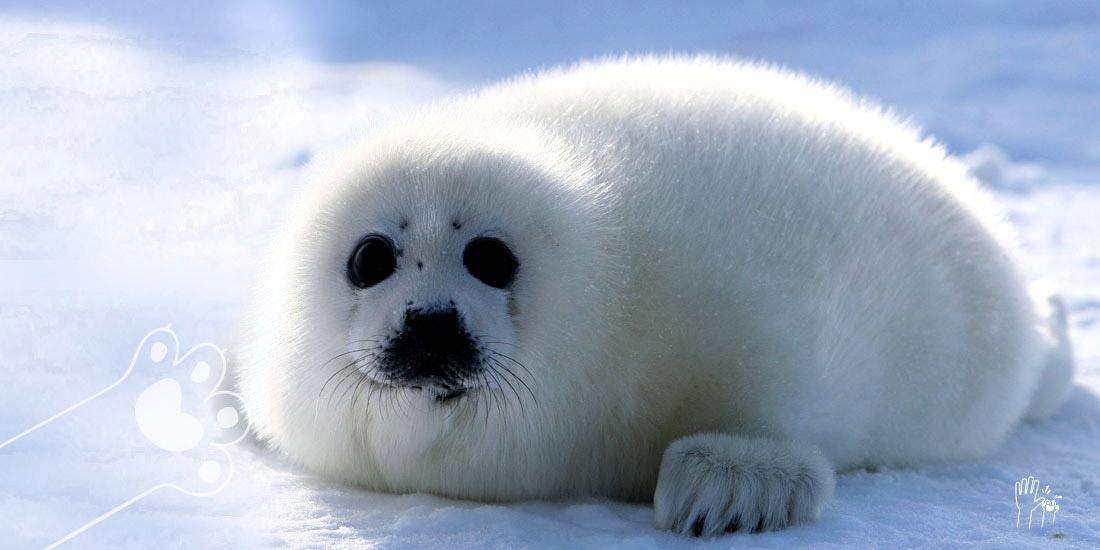 día internacional contra la matanza de las focas