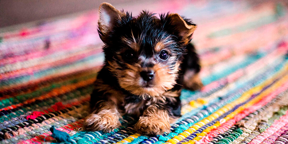 dónde vienen las razas grandes y pequeñas de perros