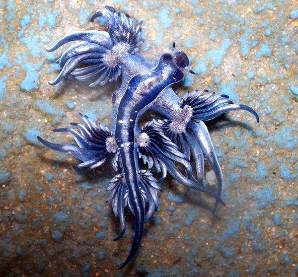 el dragón azul es venenoso