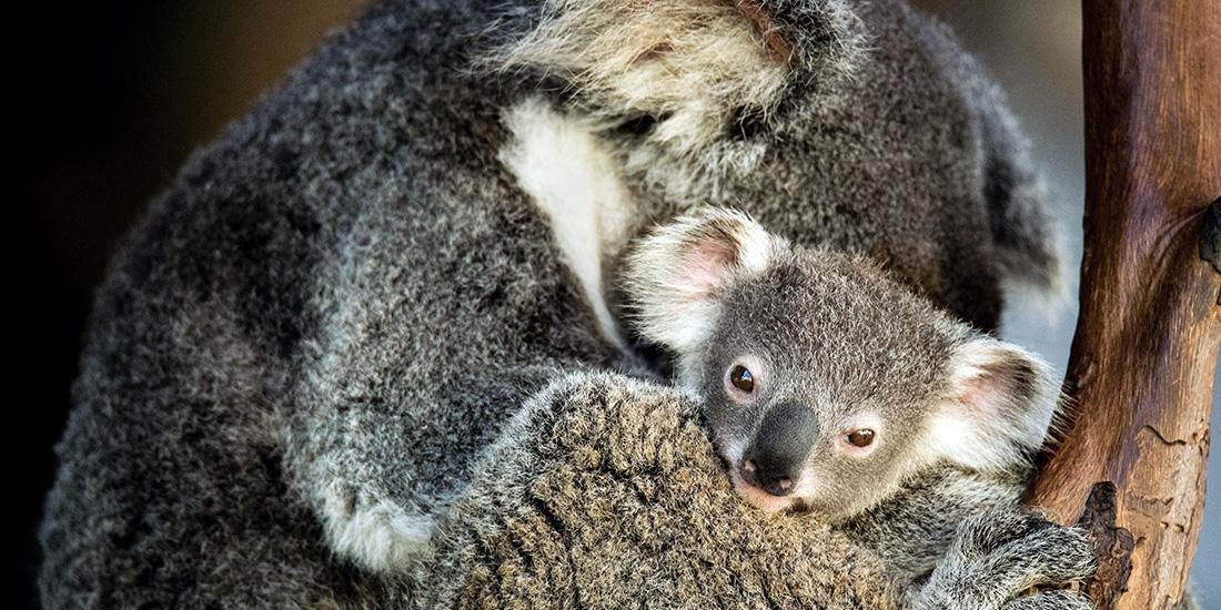 en australia nace el primer koala tras incendios