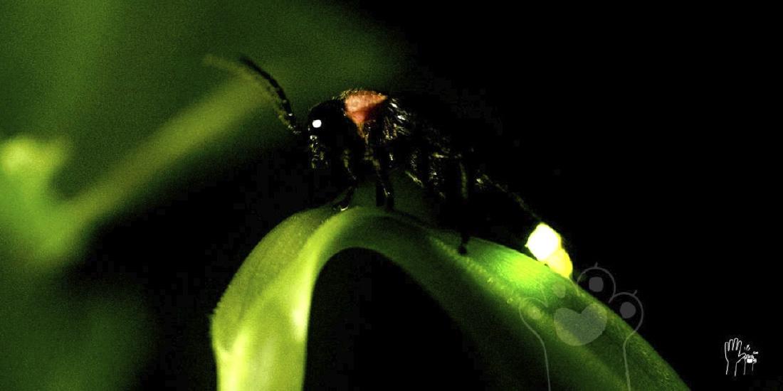 luciérnagas se suman a especies en peligro de extinción