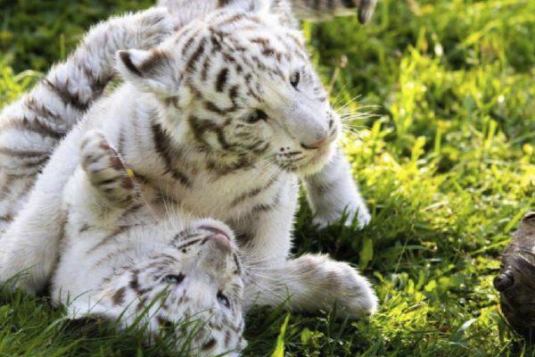 nacen tres tigres albinos en francia