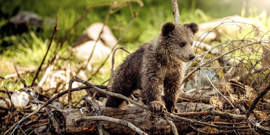 alerta de cambio climático los osos no pueden hibernar