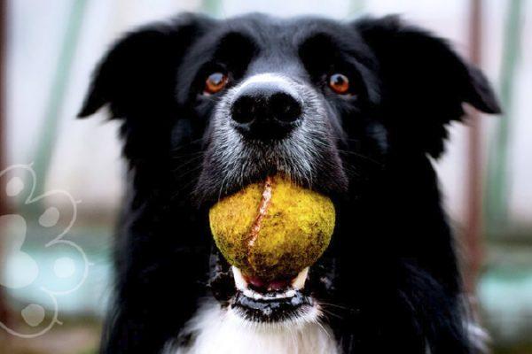 perro recibe 400 pelotas de tenis