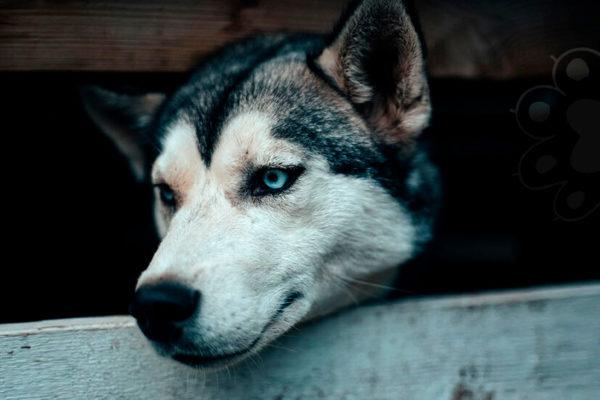 husky tienen los ojos azules