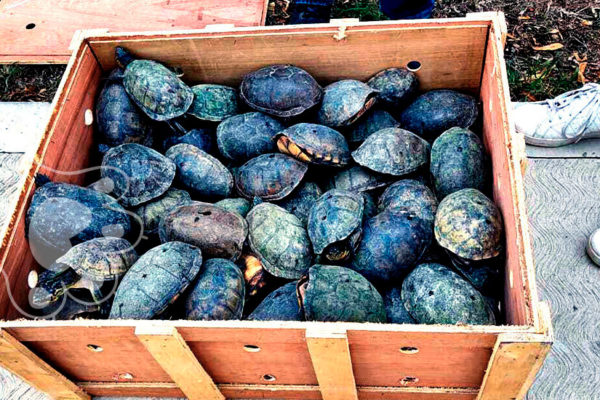 rescatan 15 mil tortugas destinadas al tráfico ilegal