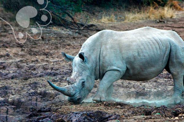 rinoceronte blanco en peligro por coronavirus