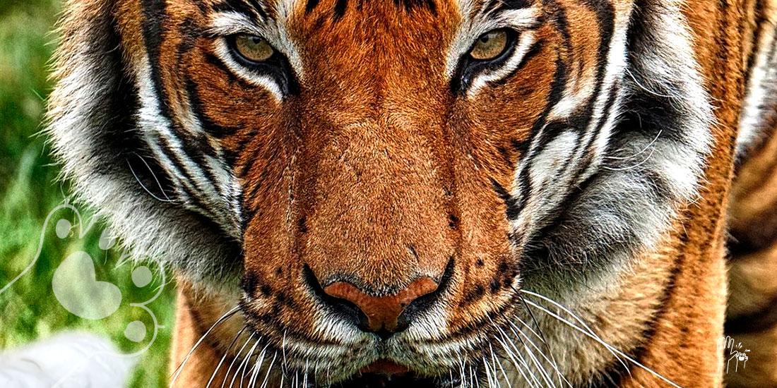 tigre da positivo a covid-19 en un zoo de nueva york