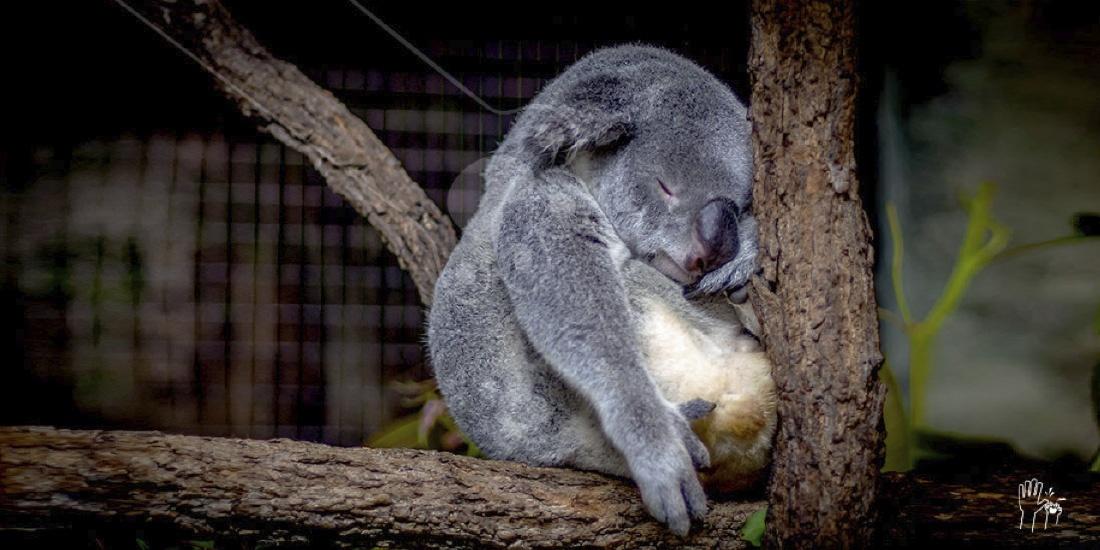 adiós a lewis el koala