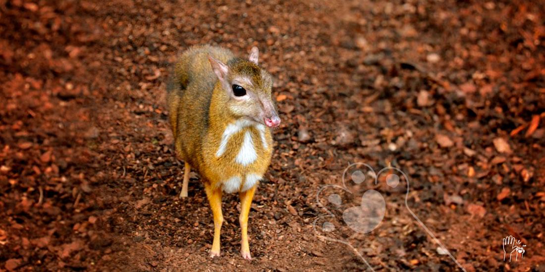 el ciervo ratón no está extinto