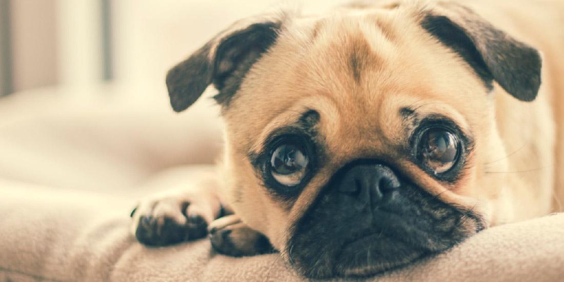 alerta epidemia existe el corona virus canino