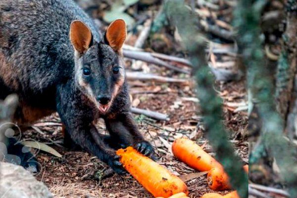 australia alimento a animales sobrevivientes