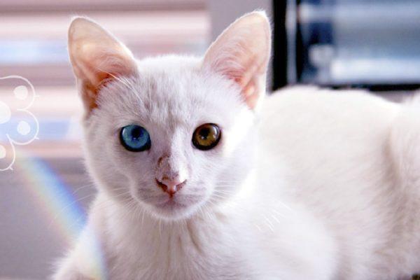 gatos turcos