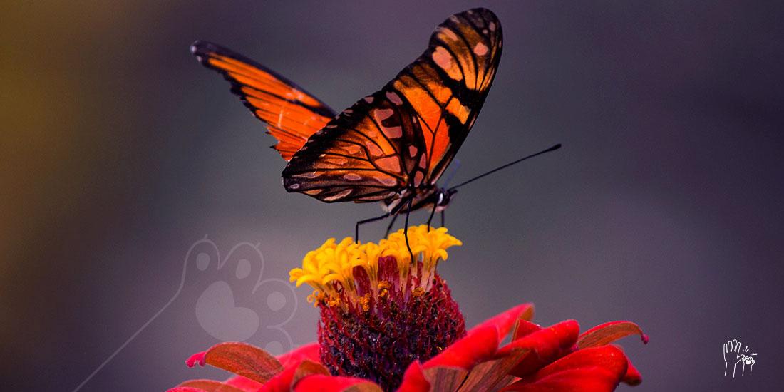 la mariposa monarca se va quedando indefensa