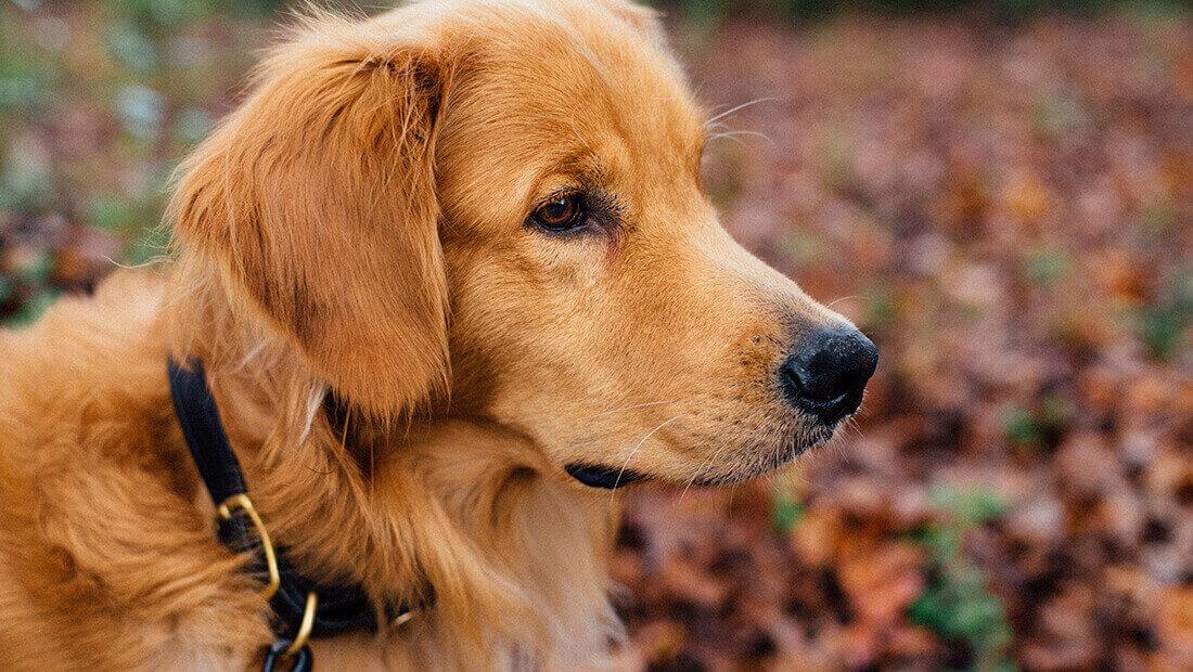 Golden en un parque