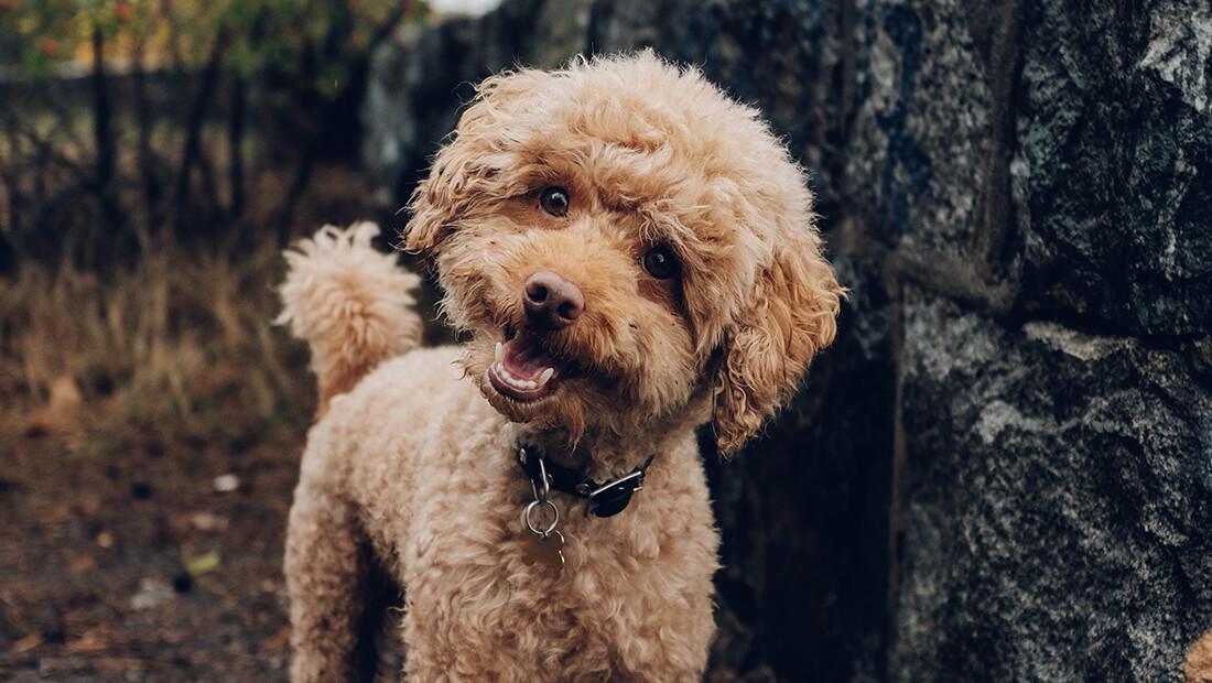 perro poodle beige