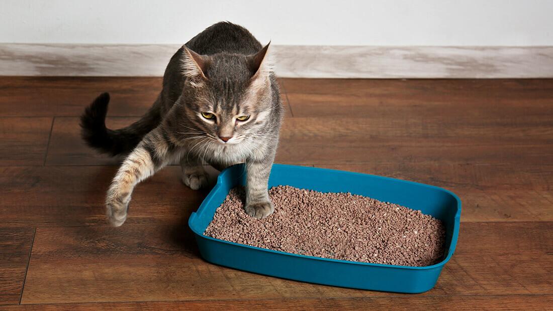 gato en su caja de arena