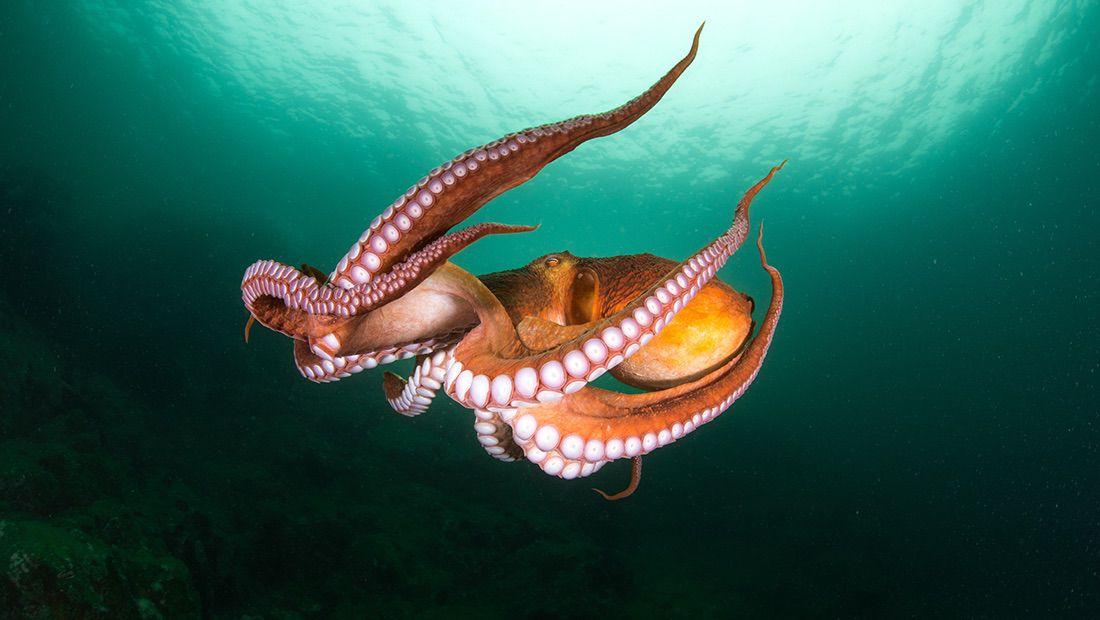 calamar en el mar