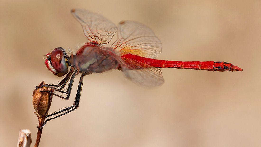 libélula