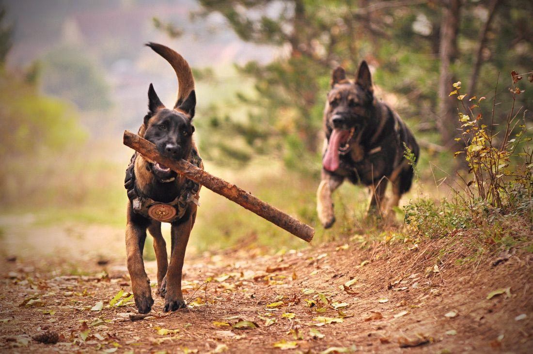 perros corriendo con energía