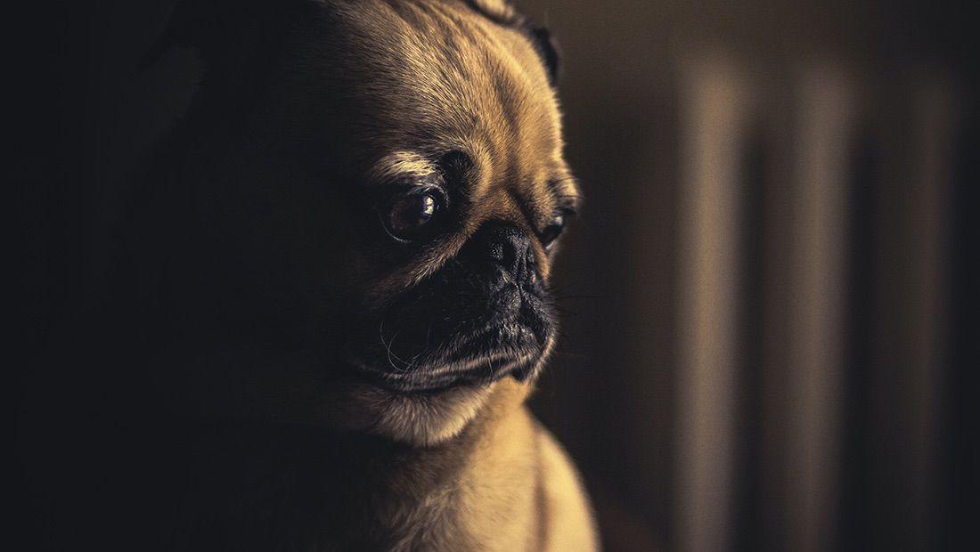 depresión canina