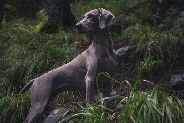 Weimaraner perro