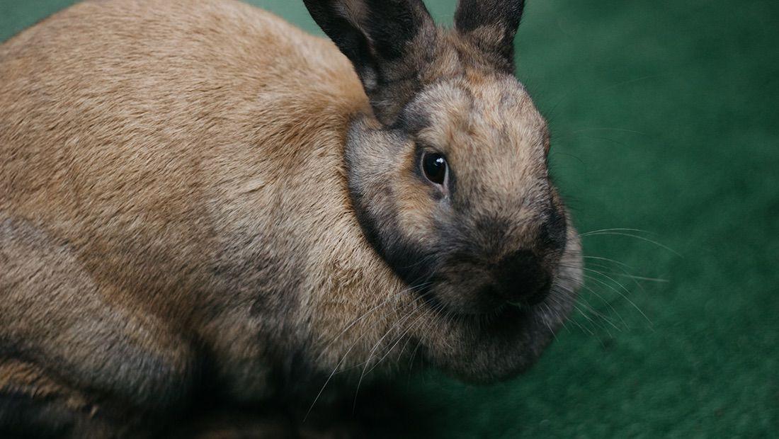 conejo Rex rabbit