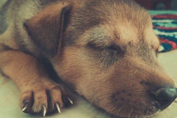 perro con sueño