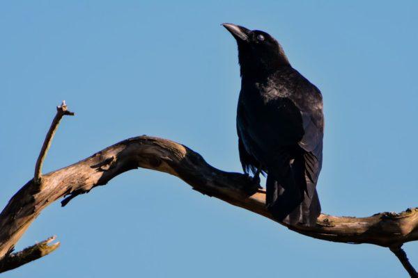 cuervo en un árbol