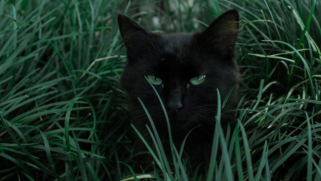 gato en el pasto