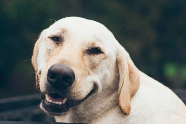 5 razas de perros más propensas a la obesidad