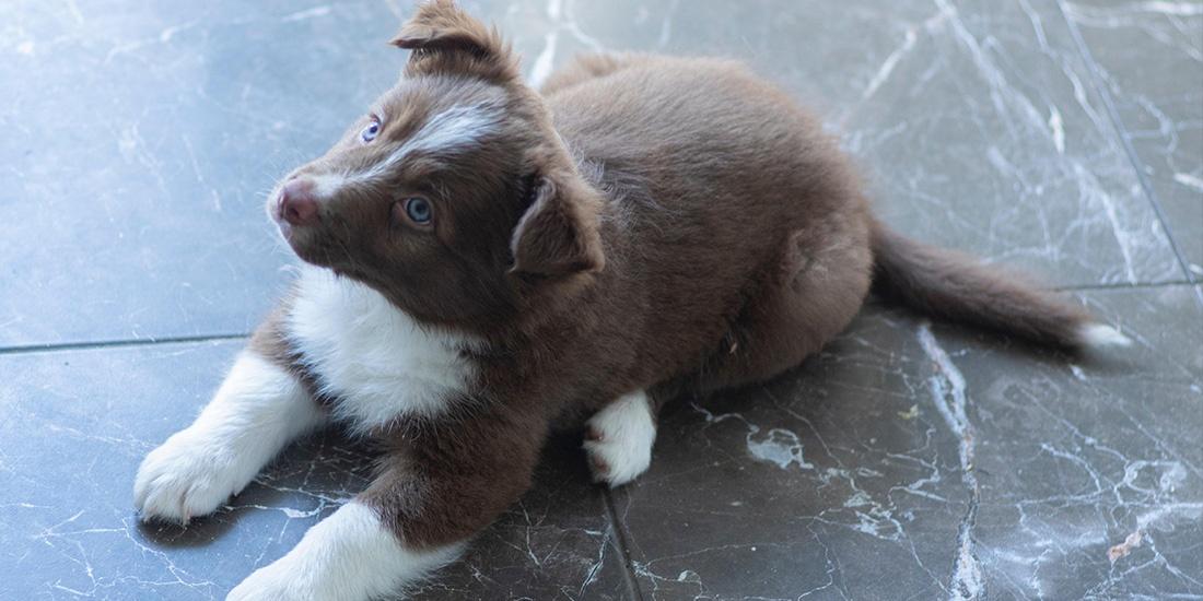 6 pasos básicos de adiestramiento canino