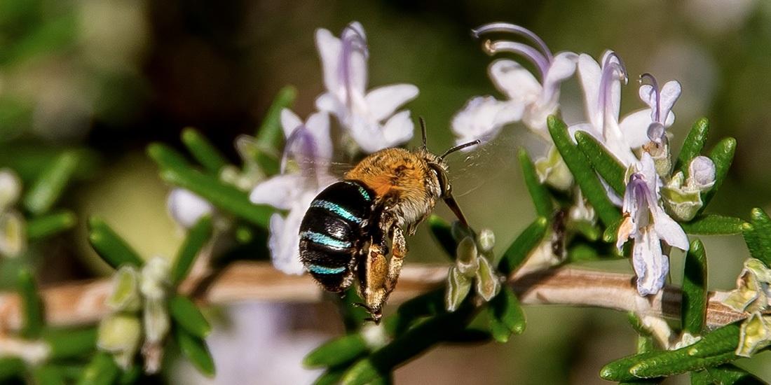 abejas azules en australia