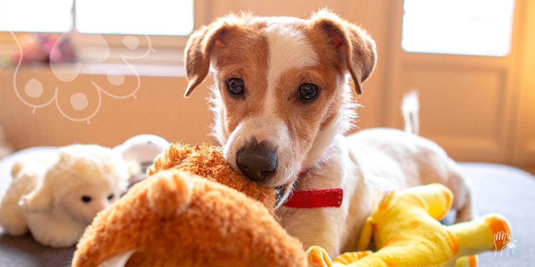 aprende a elaborar juguetes caseros para perro