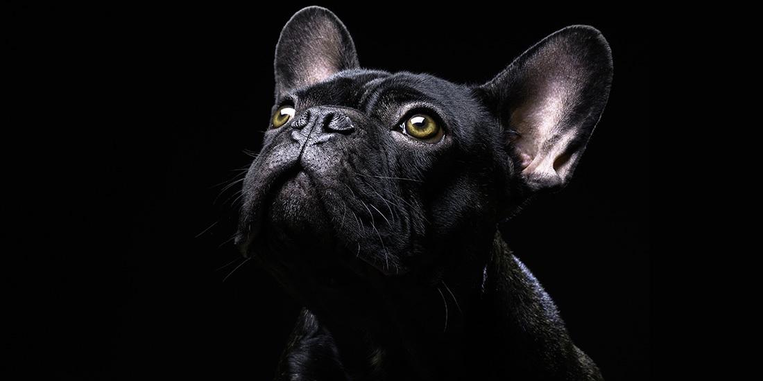 bulldog francés, la raza más vulnerable