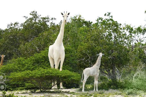 cazan a la única jirafacblanca existente en kenia