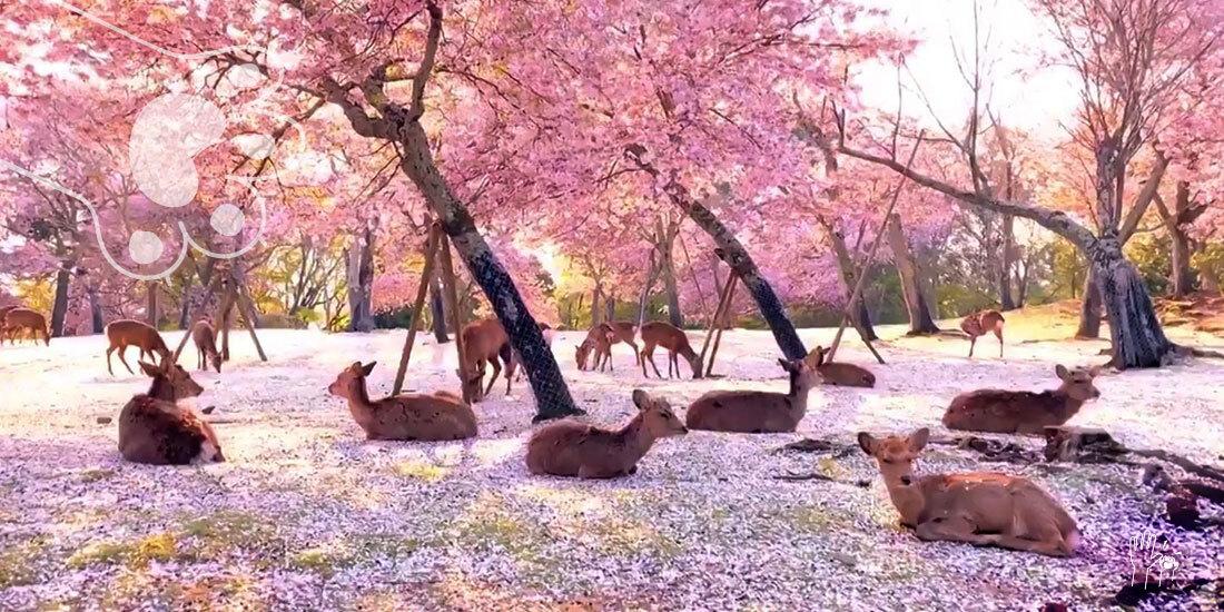 ciervos cerezos Japón