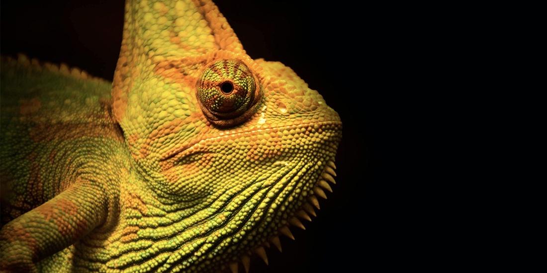 cómo cambian de color los camaleones