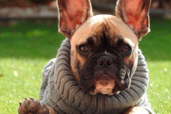 cómo proteger a los perros de enfermedades invernales