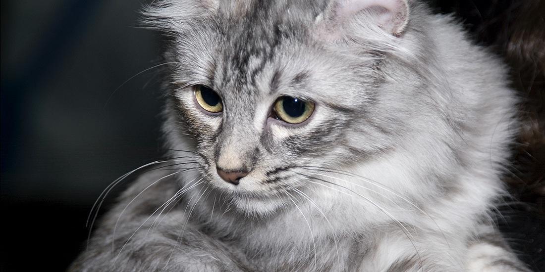 gatos de pelo largo