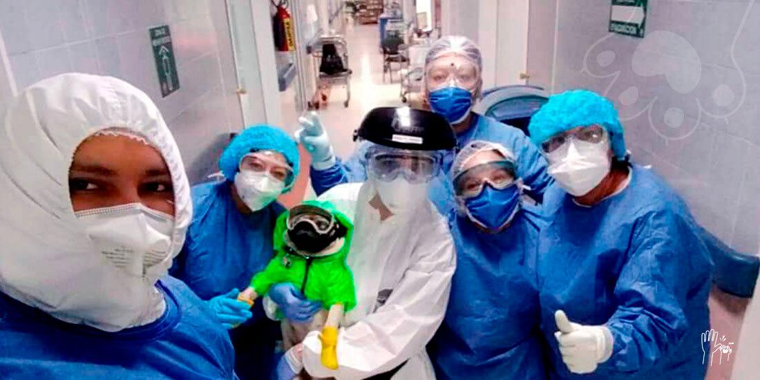 harley el tuerto el pug que inyecta buena vibra al personal de salud durante la pandemia