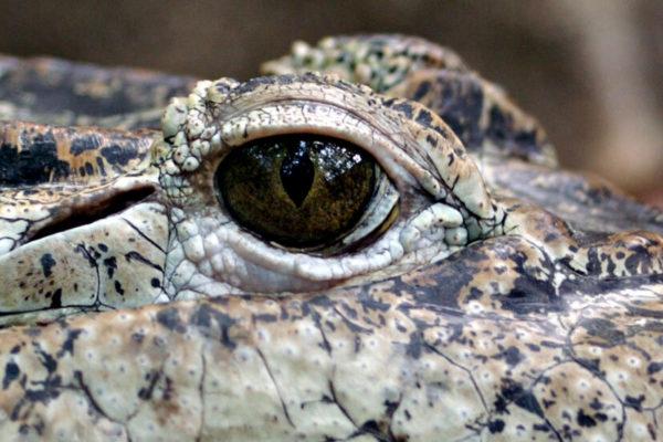 lágrimas de cocodrilo: hacer llorar a los animales para ganarse la vida