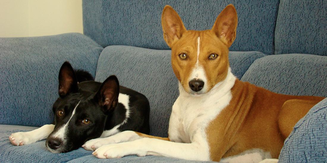 las 5 razas de perros menos obedientes